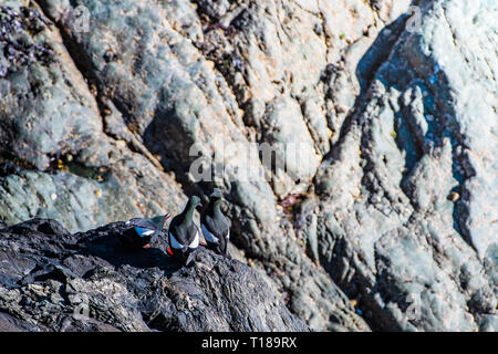 Bray Head, Ireland. 24th March, 2019 Colony of guillemots enjoying warm and wind free weather on the south side cliffs of Bray Head. Credit: Vitaliy Tuzov/Alamy Live News - Stock Photo