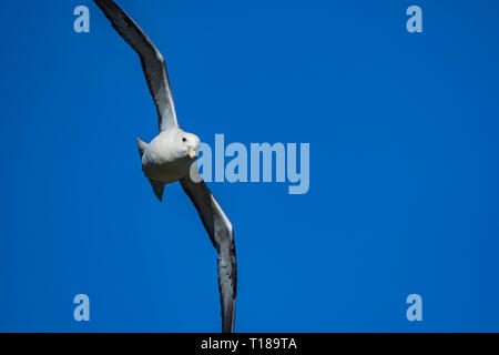 Bray Head, Ireland. 24th March, 2019 Kittiwake flying around his nest over the sea. Credit: Vitaliy Tuzov/Alamy Live News - Stock Photo