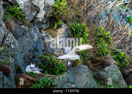 Bray Head, Ireland. 24th March, 2019 Kittiwakes enjoying warm and wind free weather on the south side cliffs of Bray Head. Credit: Vitaliy Tuzov/Alamy Live News - Stock Photo
