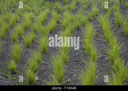 Green ornamental grass in series on slate floor - Stock Photo