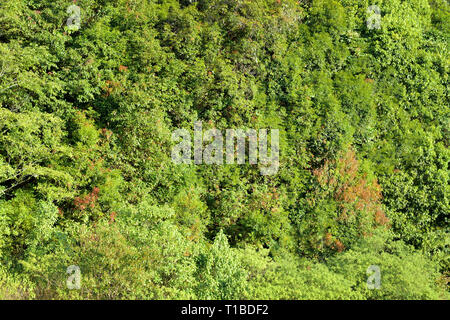 Dense green leaves texture in deep jungle as background, tropical rainforest environment, ecology of evergreen tree in evergreen forest, green forest  - Stock Photo