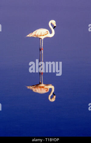 Flamingo in Laguna Chaxa in the chilean andes - Stock Photo