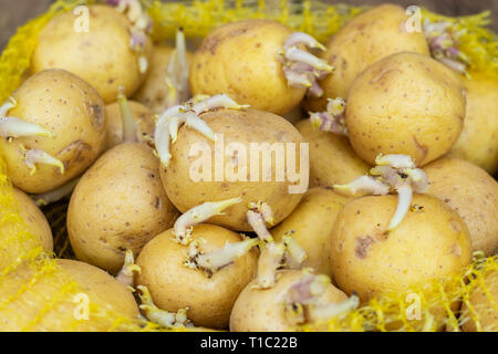 Closeup of seedlings of potatoes with sprouts in a plastic bag, prepared for planting on a wooden table. - Stock Photo