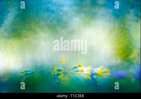 Cowslip (Primula veris) flowers in springtime - Stock Photo