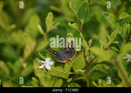 black and orange butterfly flying through leaves - Stock Photo