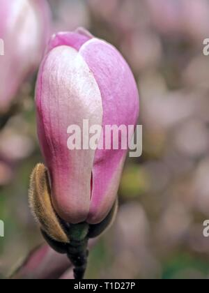 Beautiful pink blooming magnolia flowers in spring - Stock Photo