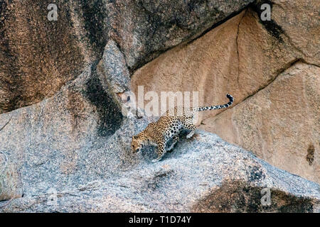 Leopard going toards its Den in Rocky Hill at Bera,Rajasthan,India - Stock Photo