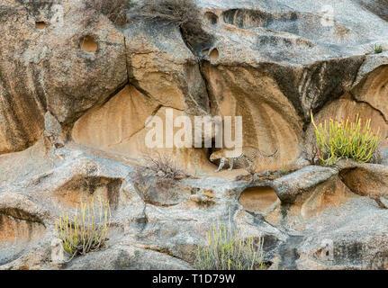 Leopard walking in Rock hills of Bera,Rajasthan,India - Stock Photo