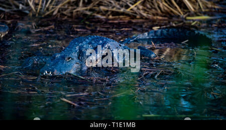 American Alligator basking in the shallow marsh at The Anhinga Trail. - Stock Photo