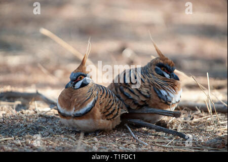 Spinifex pigeons foraging, Alice Springs Desert Park - Stock Photo