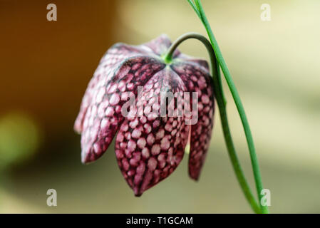 A close up of the flower of a snake's head fritillary (Fritillaria meleagris) - Stock Photo