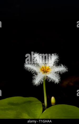 Water Snowflake flower closeup seen at Kaas Plateau,Satara,Maharashtra,India - Stock Photo