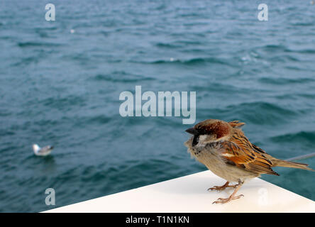 Cute sparrow at the seaside standing against the wind - Stock Photo