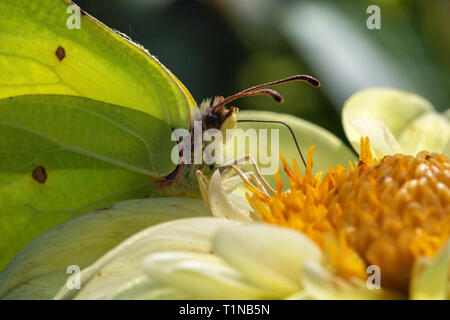 Detailed Side View of a Brimstone Butterfly (Gonepteryx rhamni) Feeding on a Bright Yellow Garden Flowers on a Warm Summer Day. - Stock Photo