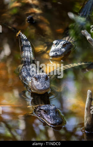 Wild Aligators in a Florida Mangrove Swamp, USA - Stock Photo