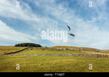 Starling murmuration in the middle of the day on Malham moor in the Yorkshire Dales, North Yorkshire, UK - Stock Photo