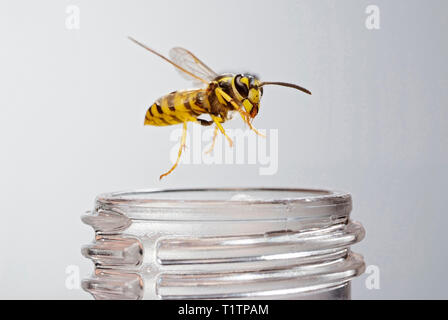 Deutsche Wespe (Vespula germanica) an einer Limonadenflasche - Stock Photo