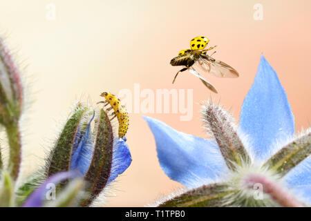 Zweiundzwanzigpunktmarienkaefer (Psyllobora vigintiduopunctata), im Flug, Larve, an Borretschbluete, Deutschland - Stock Photo