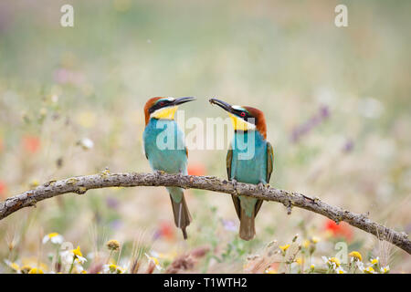 European Bee-eater (Merops apiaster), adult male offering insect prey to female, perched on branch, Lleida Steppes, Catalonia, Spain - Stock Photo