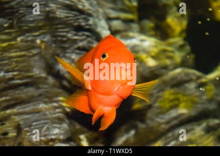 Fish in the aquarium of the aquarium, Scaridae - Stock Photo