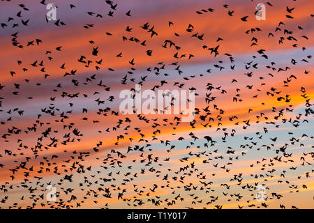 Spectacular sunset murmuration of starlings, thousands of birds in flight to roost in Somerset Levels marshes, UK - Stock Photo