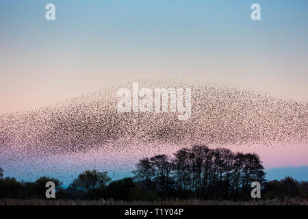 Spectacular murmuration of starlings display thousands of birds in  flight cloud pattern before sunset roosting in marshland UK - Stock Photo