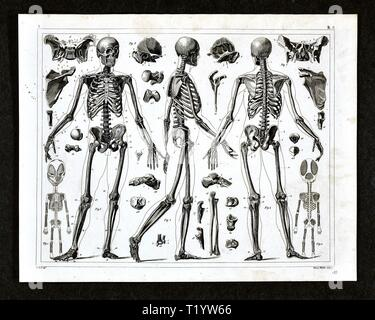 1849 Medical Illustration of Human Anatomy showing the Skeletal System - Stock Photo