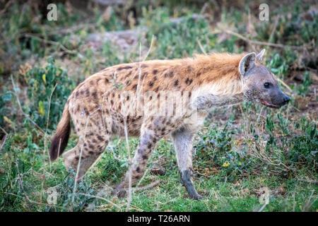 A spotted hyena (Crocuta crocuta), aka laughing hyena,Nakuru National Park, Kenya. - Stock Photo