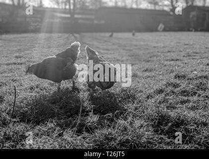 Two Chickens roam free in a field in the bright sunshine of spring. the shot is in black and white - Stock Photo