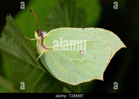 Female Brimstone Butterfly (Gonepteryx rhamni) - Stock Photo