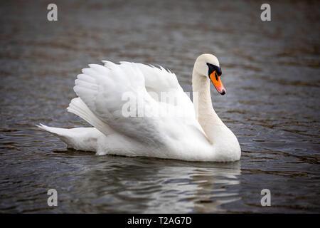 A beautiful white swan swimming on river Vltava in Prague - Stock Photo