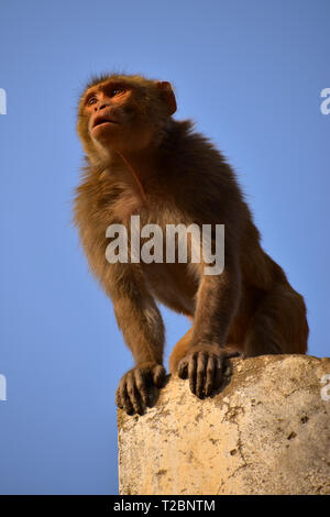 Monkey, Monkey Temple, Galtaji, Jaipur, Rajasthan, India - Stock Photo