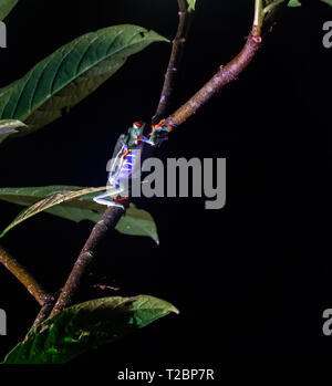 Two Red-Eyed Tree frogs fine each other in a lonely night and start another generation - Stock Photo