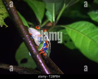 Weird arrangement of eyes comes from the picture angle of two Red-Eyed Tree frogs coupling in a dark and lonely night - Stock Photo
