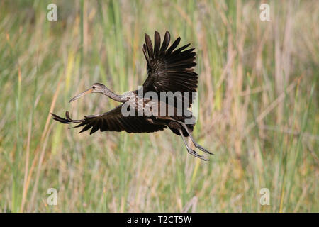 Limpkin, Aramus guarauna, in flight, flying, USA - Stock Photo