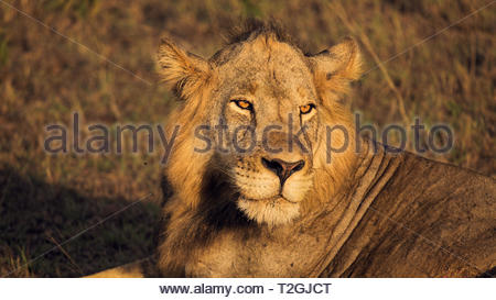 portrait of male lion at sunrise in Queen Elizabeth National Park, Uganda - Stock Photo