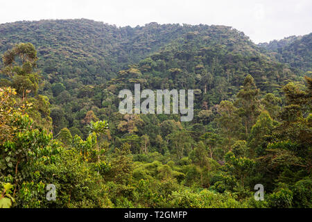 View of rainforest from Buhoma village, Bwindi Impenetrable Forest National Park in South West Uganda, East Africa - Stock Photo