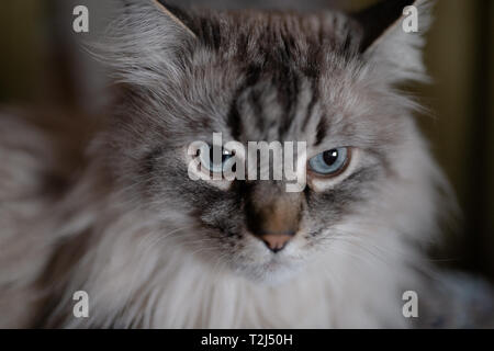 Siberian Neva Masquerade close cat face - Deep blue eyes on a blurry 1.4 aperture background at home - Stock Photo