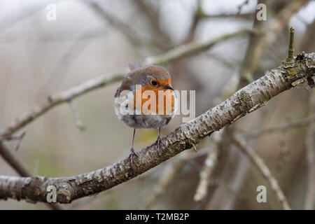 A European robin (Erithacus rubecula) sitting on a branch near the banks of the River Trent in Beeston, Nottinghamshire, UK. - Stock Photo