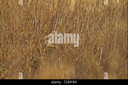 Short eared owl, Alios flammeus, camouflaged amongst reeds whilst standing on the ground. - Stock Photo