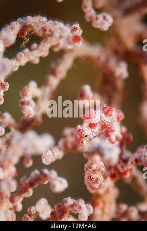 Red and white Pygmy seahorse, Hippocampus bargibanti, hiding camouflaged,on Gorgonian sea fan polyps - Stock Photo