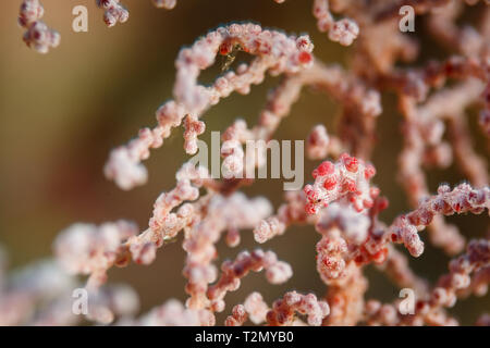 Red and white Pygmy seahorse, Hippocampus bargibanti, camouflaged, hiding on Gorgonian sea fan polyps - Stock Photo