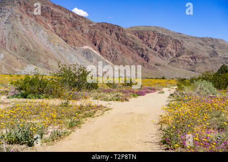 Walking trail lined up with blooming desert sunflowers (Geraea canescens) and sand verbena (Abronia Villosa) in Anza Borrego Desert State Park during  - Stock Photo