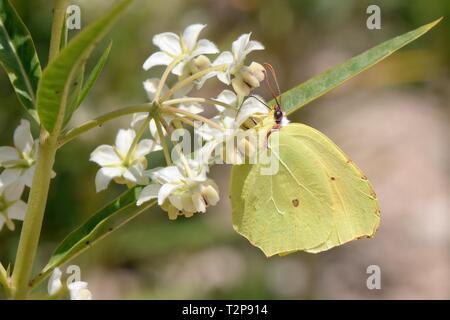 Brimstone butterfly (Gonepteryx rhamni) feeding on Milkweed / Balloon cotton flowers (Gomphocarpus fruticosus), Sardinia, Italy, June. - Stock Photo