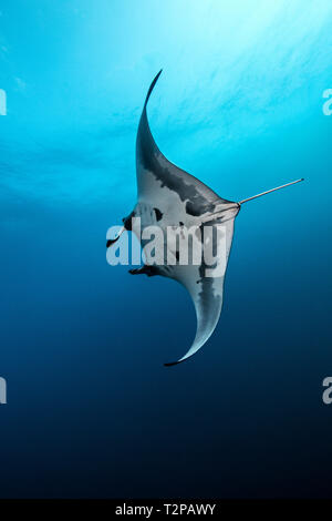 Underwater view of Giant Manta Ray swimming near the pinnacle of roca partida, Socorro, Baja California, Mexico - Stock Photo