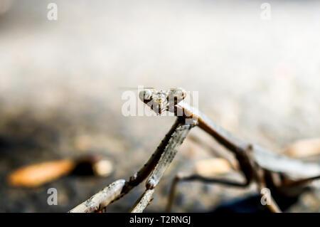 Macro shot of praying mantis - Stock Photo