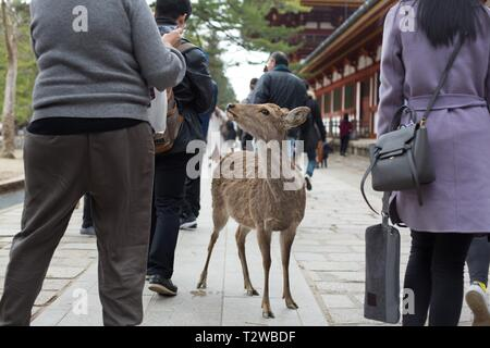 A deer standing among people in Nara, Japan. - Stock Photo