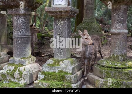 Deer standing among old stone lanterns on the path to Kasuga Taisha shrine in Nara, Japan. - Stock Photo