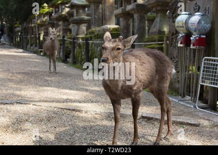 Deer stand among old stone lanterns, and modern vending machines at Kasuga Taisha shrine in Nara, Japan. - Stock Photo