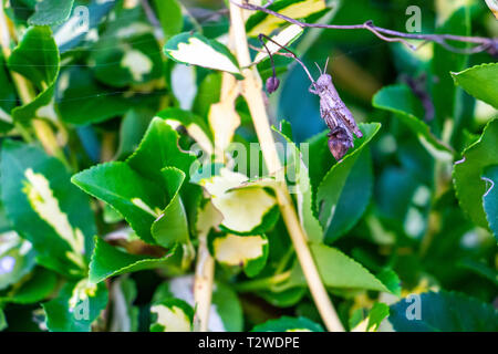 Grasshopper in a summer green bush at the village of Krum, Southern Bulgaria - Stock Photo